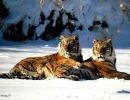 Tigres de Bengala 1