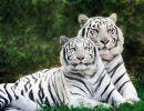 Tigres de bengala 2