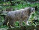 El Manul – Un gato