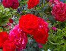 Las rosas no hablan