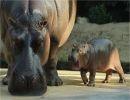 Imágenes de hipopótamos