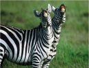 Imágenes de Cebras