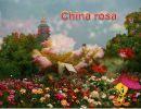 China Rosa