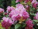 Rhododendro (Yveta)