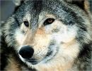 Imágenes de Lobos