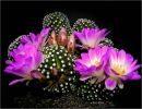Bellos cactus en flor
