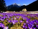 Crocuses in tatra mountains