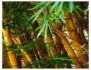 Como El Bambú Japonés