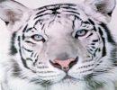 Salvar los Tigres